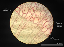 Cross section of 2 year old Tilia Americana, highlighting xylem ray shape and orientation.