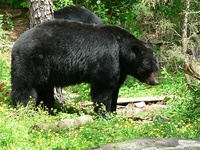The hypocarnivorous American black bear (Ursus americanus) vs. the hypercarnivorous polar bear (Ursus maritimus)[35]