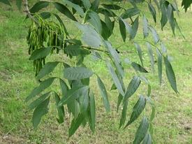 Fraxinus excelsior.jpg