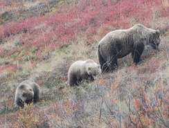 Grizzly bear (Ursus arctos horribilis) mother and cubs foraging in Denali National Park, Alaska.