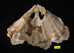 "Rhynchonellid brachiopod with interior spondylium (""C"" in image) visible; Roadian, Guadalupian (Middle Permian); Glass Mountains, Texas."