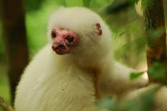 The critically endangered silky sifaka