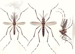 Adults of the yellow fever mosquito A. aegypti: The male is on the left, females are on the right. Only the female mosquito bites humans to transmit the disease.