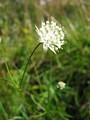 Astrantia minor (umbel)