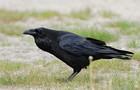 Corvus corax ad berlin 090516.jpg