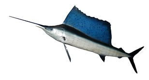 Sailfish, like all billfish, have a rostrum (bill) which is an extension of their upper jawbone