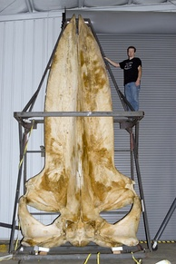 A blue whale skull measuring 5.8 metres (19 ft)