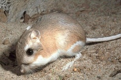Kangaroo rats can locate food caches by spatial memory.