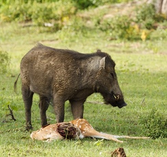 Male Indian boar (S. s. cristatus) feeding on a chital carcass