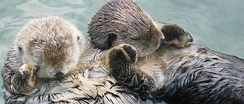 Sea otters, an example of a keystone species