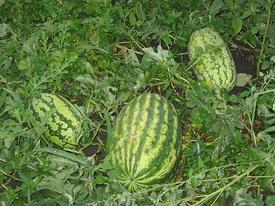 Общий вид плодоносящего растения