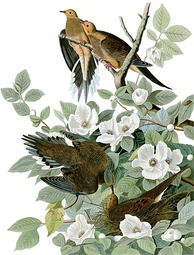 Plate from The Birds of America by Audubon of a Carolina pigeon (now called mourning dove)