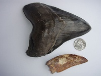 Megalodon and Carcharodontosaurus teeth. The latter was found in the Sahara Desert.