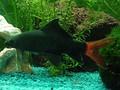Двухцветный лабео (Epalzeorhynchos bicolor)
