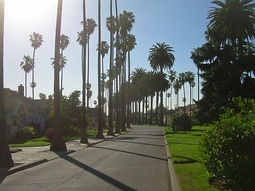 San Jose city streets are commonly lined with palm trees.