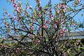 A peach tree in blossom