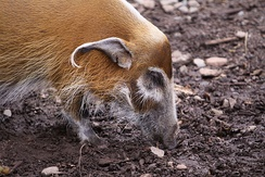 Red river hog at Durrell Wildlife Park (Jersey)