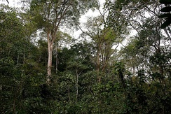 Trees in Moribane Forest Reserve, Mozambique