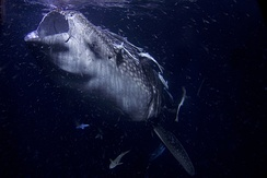 Whale shark filtering plankton in Maldives