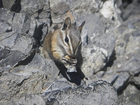 A Colorado chipmunk eating a sunflower seed near the entrance to Timpanogos Cave in Timpanogos Cave National Monument, Utah