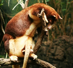 Matschie's tree-kangaroo with young in pouch