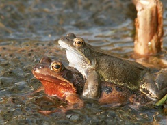 Common frogs sorting out their spawn