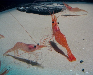 Arthropods like these northern prawn, and some mammals, detect water movement with sensory hairs such as whiskers, bristles or antennae