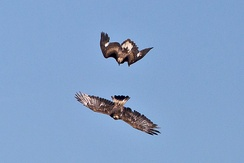 Two golden eagles in an aerial conflict over their home ranges, the upper bird clearly a juvenile.
