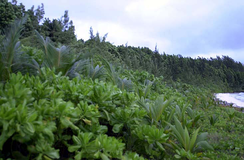 A typical oceanside littoral hedge with Casuarina fringe