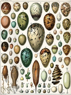 Eggs of various birds, a reptile, various cartilaginous fish, a cuttlefish and various butterflies and moths. (Click on image for key)