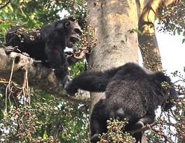 Male chimpanzees in Mahale National Park, Tanzania