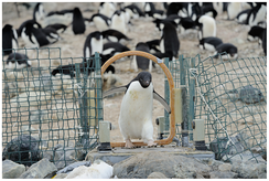 Example of data collection in the biological sciences: Adélie penguins are identified and weighed each time they cross the automated weighbridge on their way to or from the sea.[1]