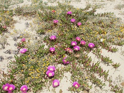 Carpobrotus and other prostrate plants growing on sand in Sicily, striking root and binding the soil as they grow