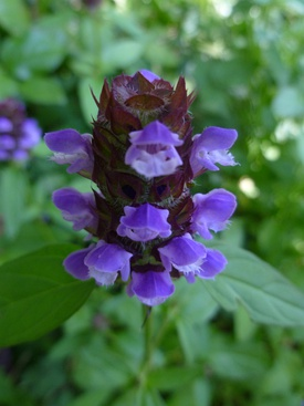 Common self-heal (Prunella vulgaris) -- flower head closeup.JPG
