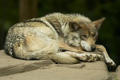 An endangered Mexican gray wolf is kept in captivity for breeding purposes.