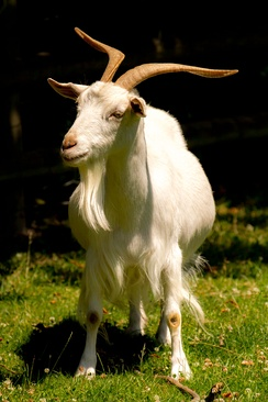 A white Irish goat with horns