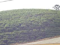 Кофейные плантации в штате Минас-Жерайс. Государство несёт ответственность более чем за половину национального производства кофе и молока