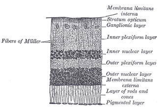 Section of retina