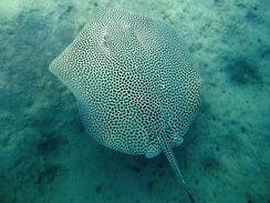 The reticulate whipray is one of the species that colonised the Eastern Mediterranean through the Suez Canal as part of the ongoing Lessepsian migration.
