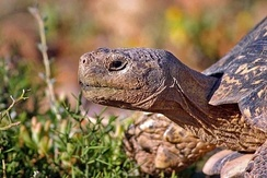 Adult male leopard tortoise, South Africa