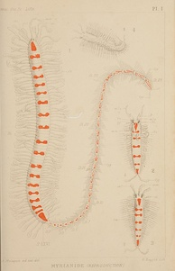 "Members of the genus Myrianida in the Polychaeta, sometimes known as ""trainworms"" form stolons containing eggs or sperm."