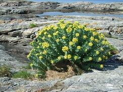 Общий вид цветущего растения. Норвегия