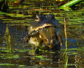 A young American alligator preying on a bullfrog