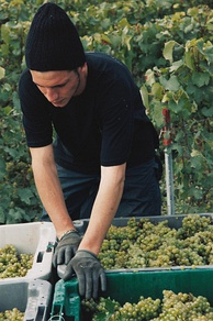 While harvesting grapes destined for sparkling wine, premium producers will take extra care to handle the grapes as gently as possible in order to minimize the extraction of harsh phenolic compounds from the skin.