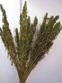 Dried hemp stalks displayed at the International Hemp Fair in Vienna