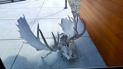 Display at the Kenai National Wildlife Refuge of the skulls of two bulls who apparently died after their antlers became locked during a fight.