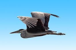 Летящая цапля (Швеция). Хорошо заметна сложенная и втянутая шея.