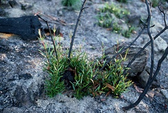 Lignotubers of Lambertia formosa growing sprouts after a bush fire