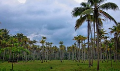 Coconut plantation in India