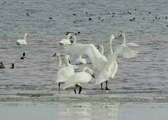 Trumpeter swans (Cygnus buccinator) on Lake Erie